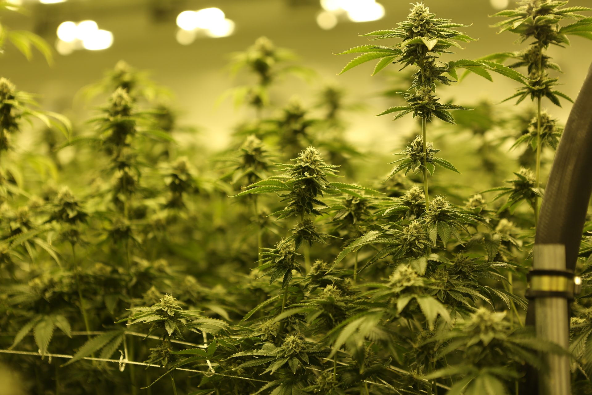 Cannabis Legalization Could be the Remedy for States Drained by COVID